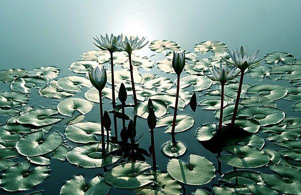 Lotus80.jpg