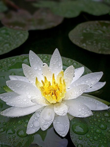 449px-White_water_lily_with_water_droplets.jpg