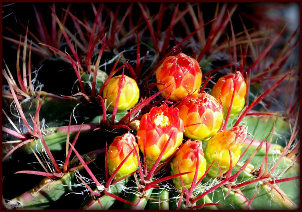 fleur de cactus -Lucette L