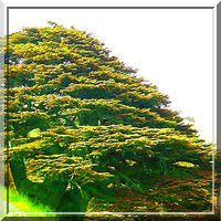 Cedars-Of-Lebanon-U2-Emotion-.jpg