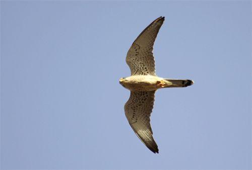 faucon1