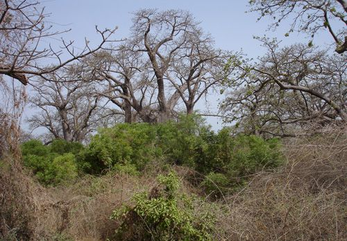 foretbaobabs
