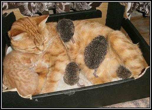 chatte-herissons.jpg