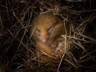 hibernation-dormouse.jpg
