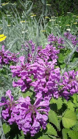stachys-grandiflora.jpg