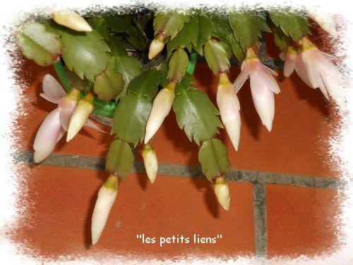 cactus-noel-boutons.jpg