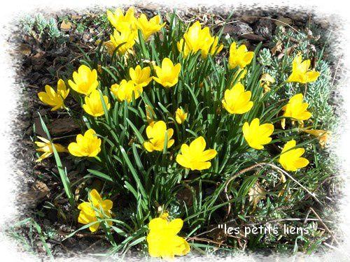 crocus-jaunes-02.2011.jpg