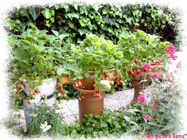 fraises2011