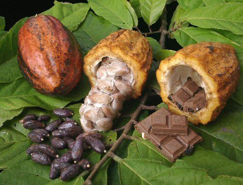 cacao produces