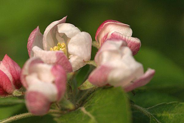fleur-de-pommier 3