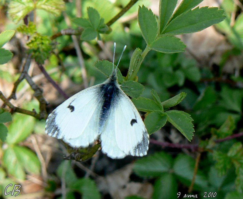 Anthocharis-cardamines-l-Aurore-femelle-9-04-2010.jpg