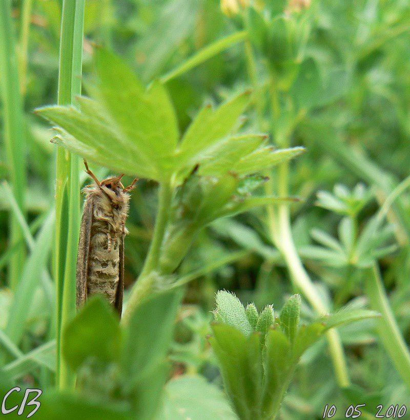 Korscheltellus-lupulinus-4-vue-du-dessous-10-05-2010.jpg
