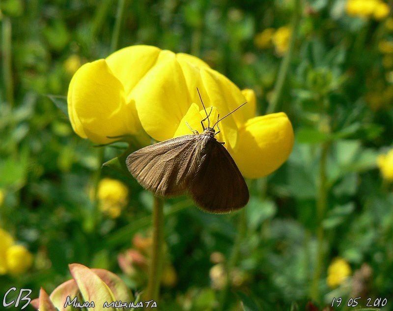 Minoa-murinata-la-Phalene-de-l-Euphorbe-18-05-2010.jpg