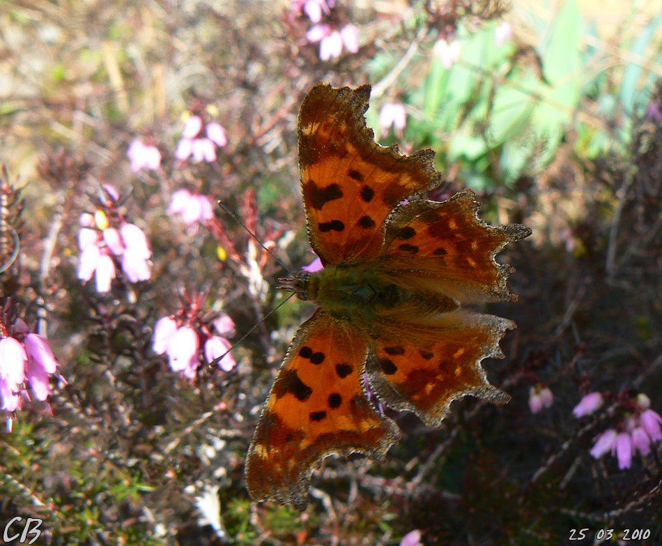 Polygonia-c-album-Le-Robert-le-Diable-le-25-03-2010-1.jpg