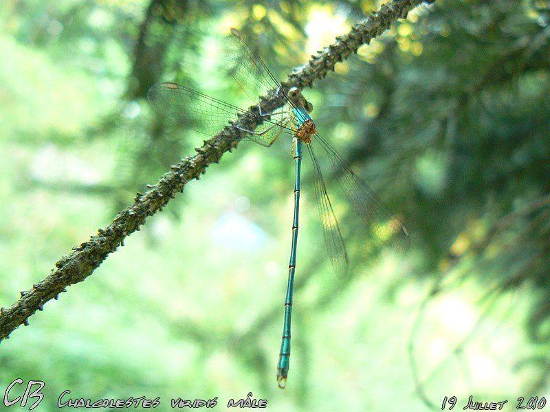 Chalcolestes-viridis-male-19-07-2010-1.jpg