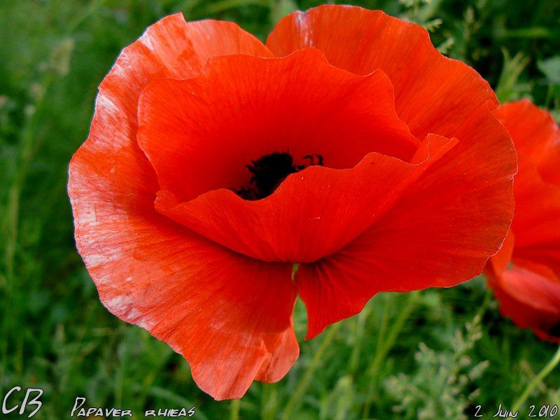 Papaver-rhoes-Coquelicot-1.jpg