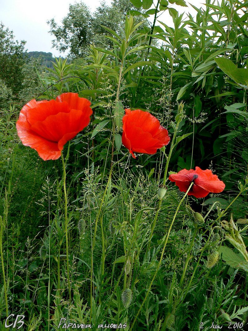 Papaver-rhoes-Coquelicot-2.jpg