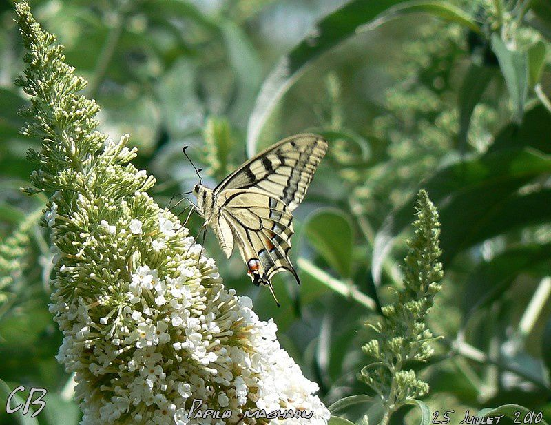 Papilio-machaon--Le-Machaon-du-25-Juillet-2010-2.jpg