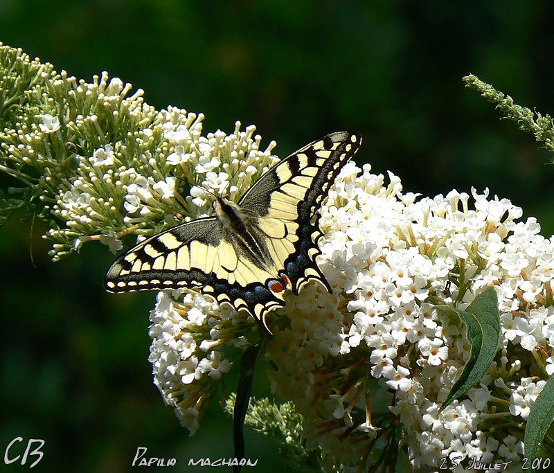 Papilio-machaon--Le-Machaon-du-25-Juillet-2010-5.jpg