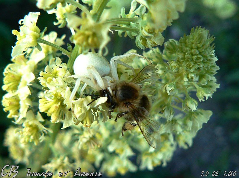 Thomise-ayant-paralyse-une-abeille-20-05-2010.jpg