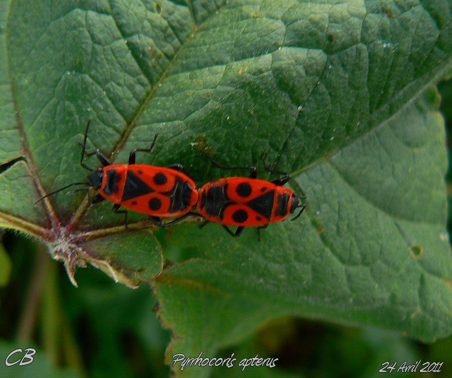 Pyrrhocoris-apterus-accouplement-24-05-2011.jpg