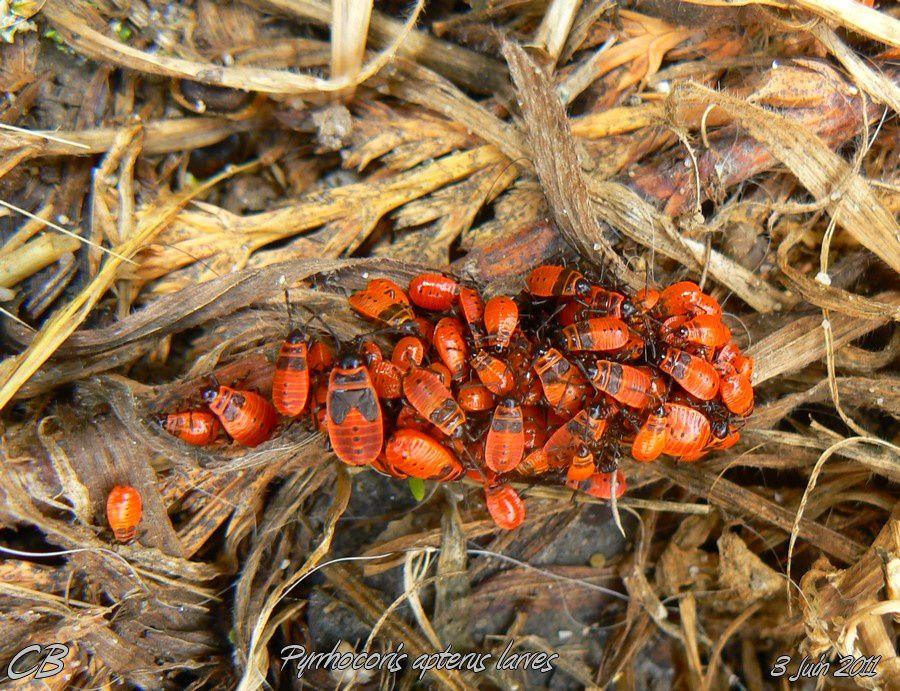 Pyrrhocoris-apterus-larves-2.jpg