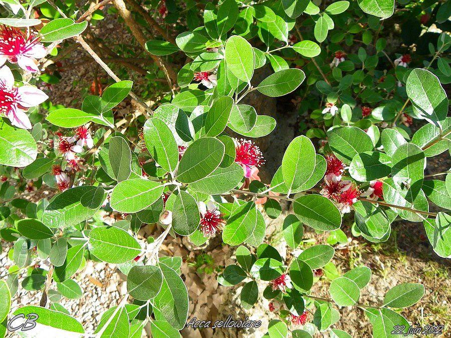 Acca-sellowiana-ou-Goyavier-du-Bresil-22-06-2012-arbuste.jpg