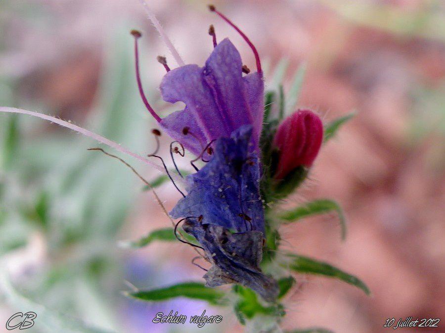 Echium-vulgare-Viperine-commune-10-07-2012-3.jpg