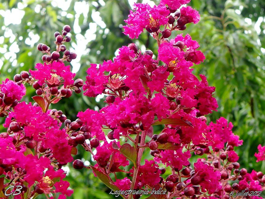 Lagerstroemia-indica-Lilas-des-indes-6-07-2012-arbuste.jpg