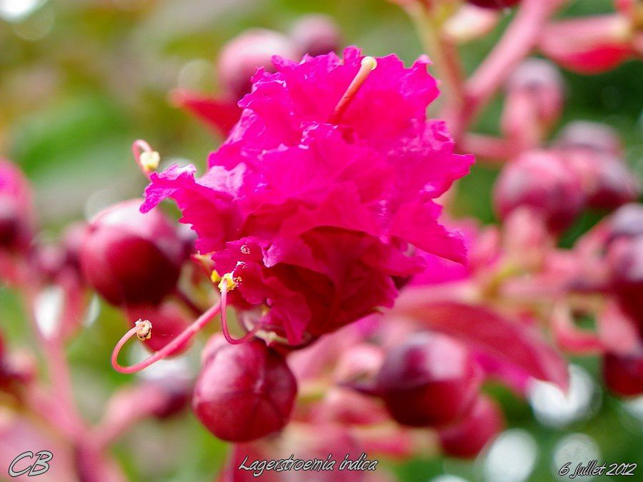 Lagerstroemia-indica-Lilas-des-indes-6-07-2012.jpg