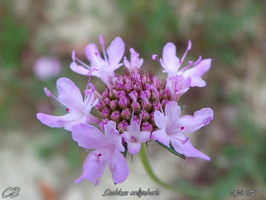 Scabiosa-columbaria-11-06-2012.jpg