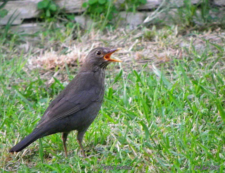 Turdus-merula-24-06-2012-dans-mon-jardin.jpg
