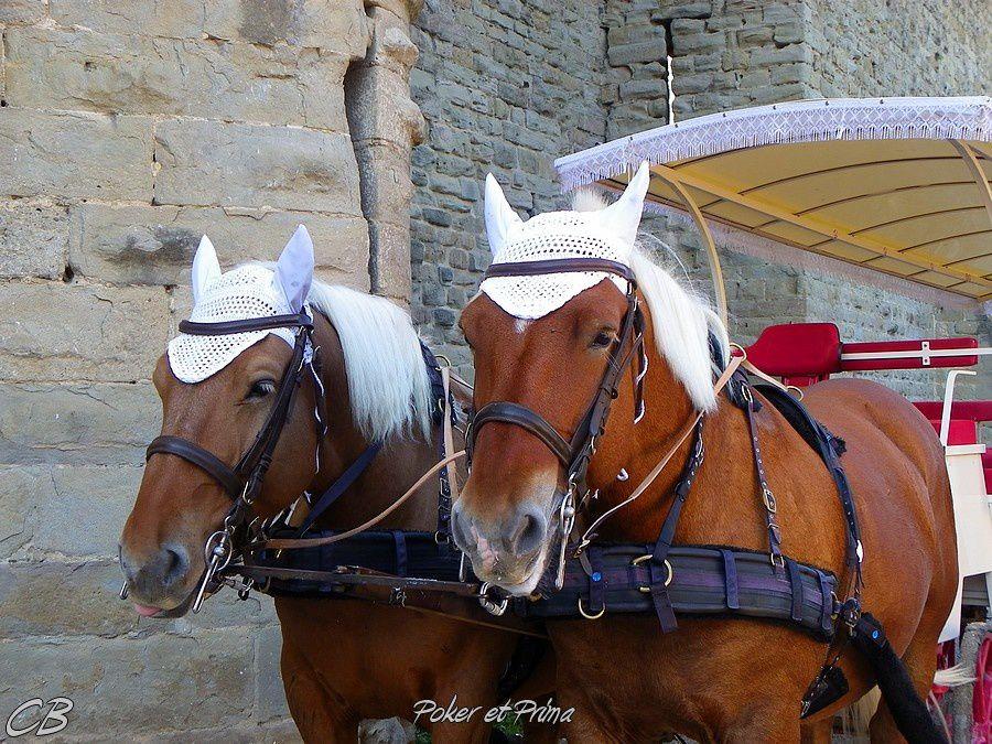 Carcassonne-promenade-en-caleche-Poker-et-Prima.jpg