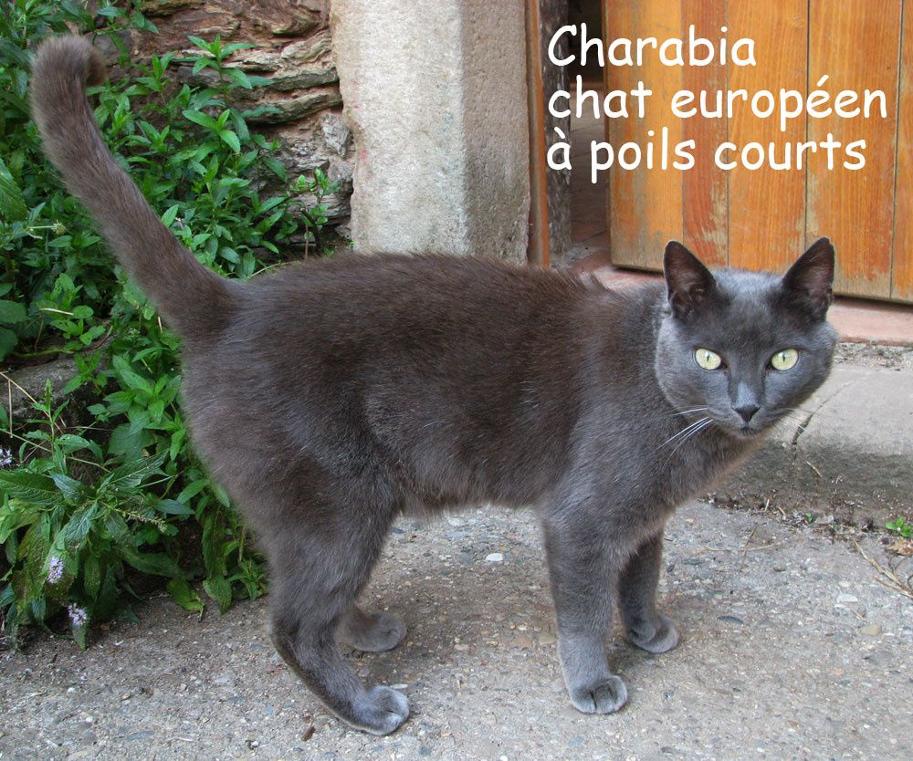 Charabia 10 08 chat européen