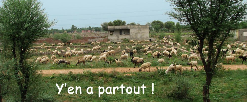 moutons : mousson 2012