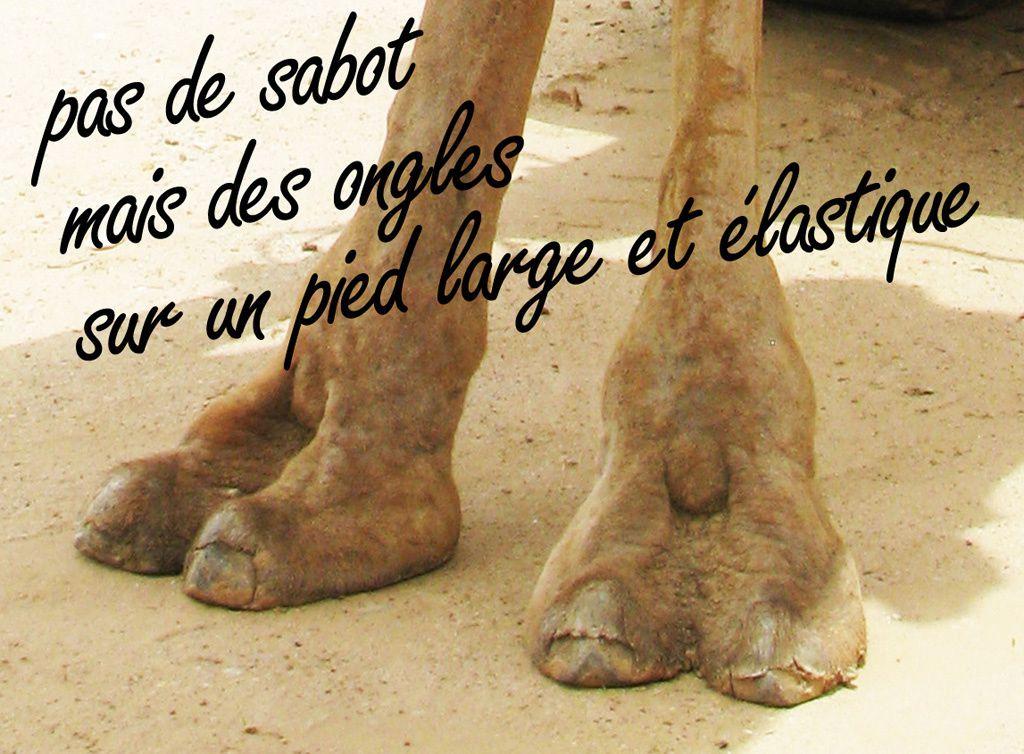 pieds de dromadaire