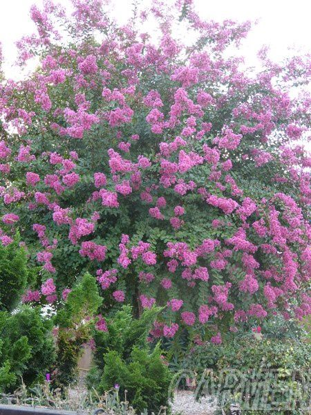 Lagerstroemia--Lilas-des-Indes-.jpg