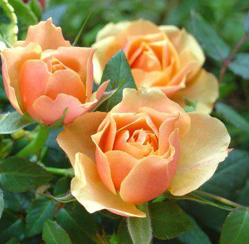medium_roses_orange.jpg