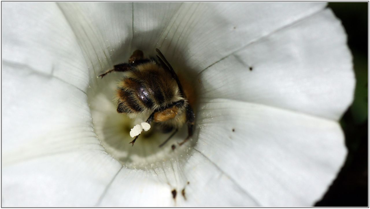 liseron des haies 12 calystegia sepium butinage au coeur de la fleur didier 365 photos. Black Bedroom Furniture Sets. Home Design Ideas