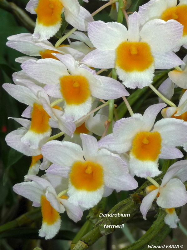 Dendrobium farmerii 2, avril 2011