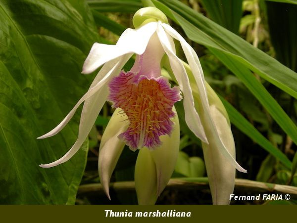 Thunia marshalliana