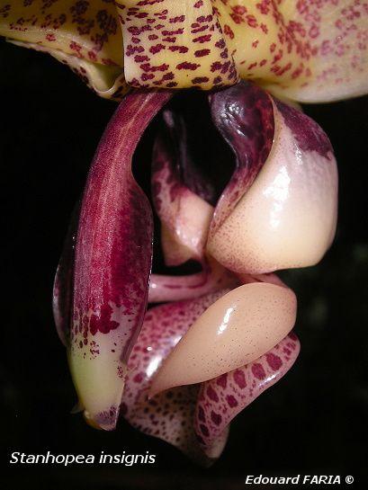 Stanhopea insignis 3