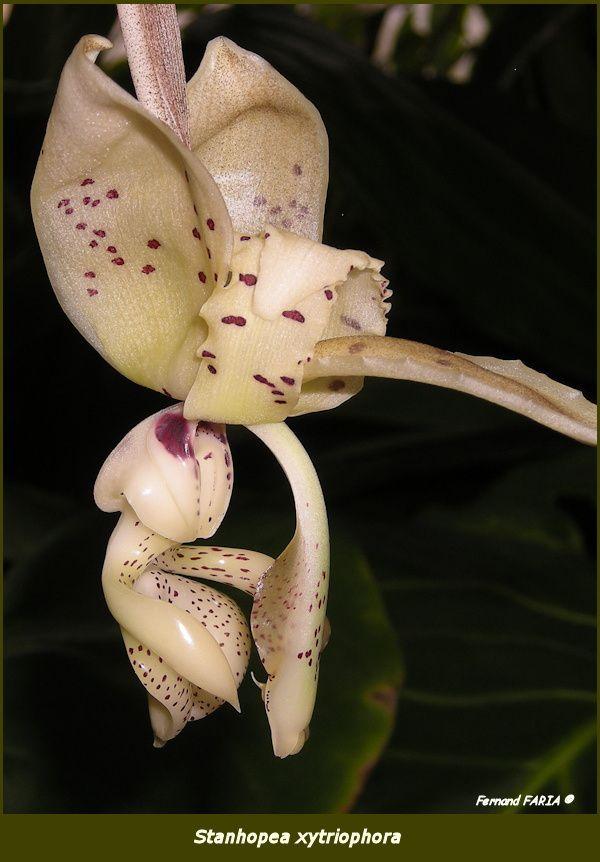 Stanhopea xytriophora