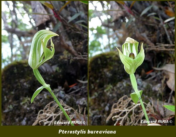 Pterostylis bureaviana
