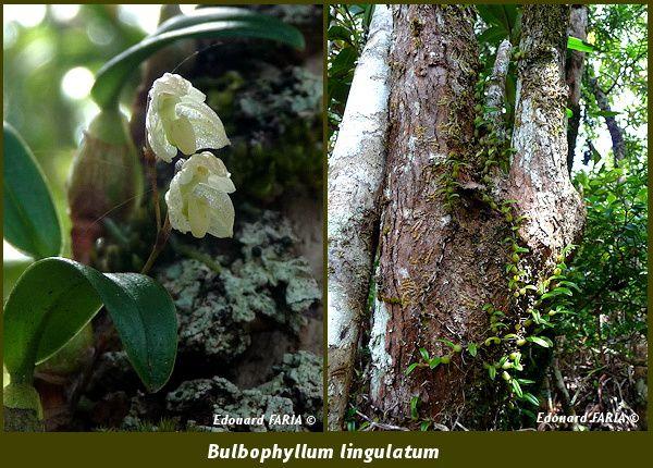 Bulbophyllum lingulatum 1