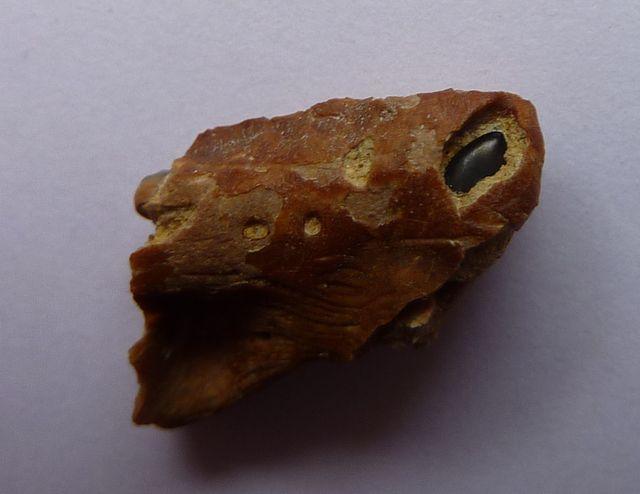 Sparus cinctus