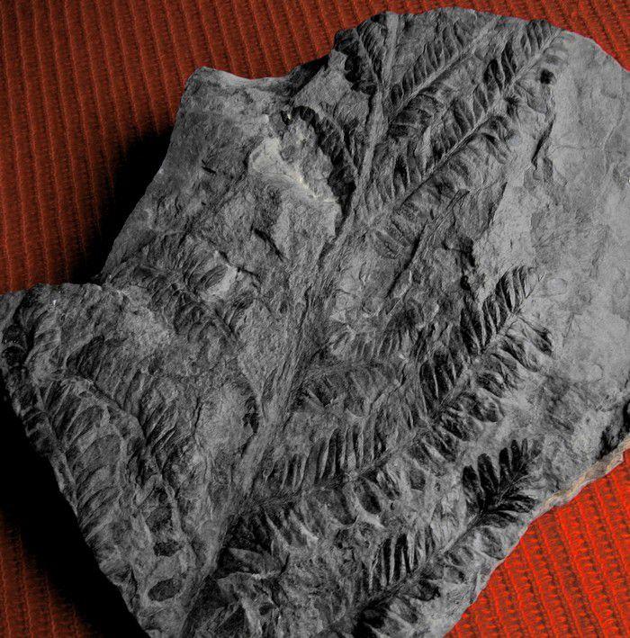 Dans cet album, Bois et végétaux fossiles de divers provenances et niveaux géologique.