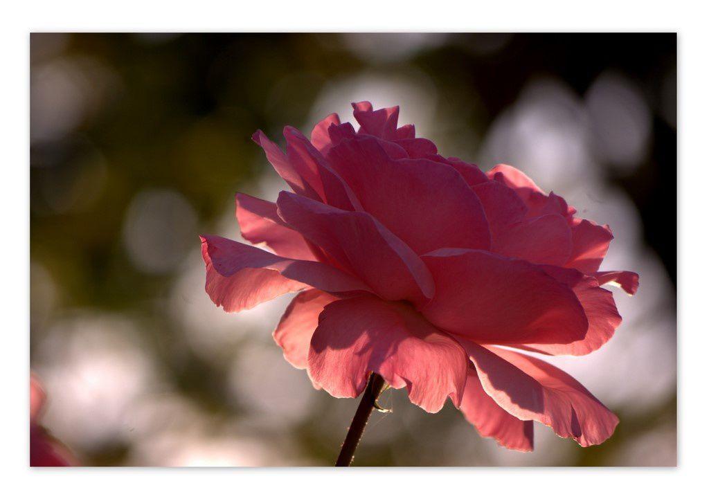 roses d'automne2