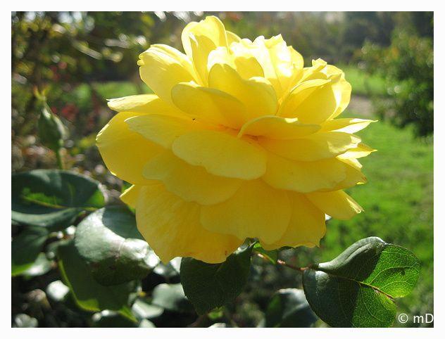 rose jaune d'octobre