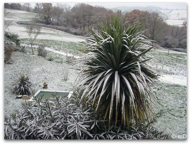 dracaena neige-borderK
